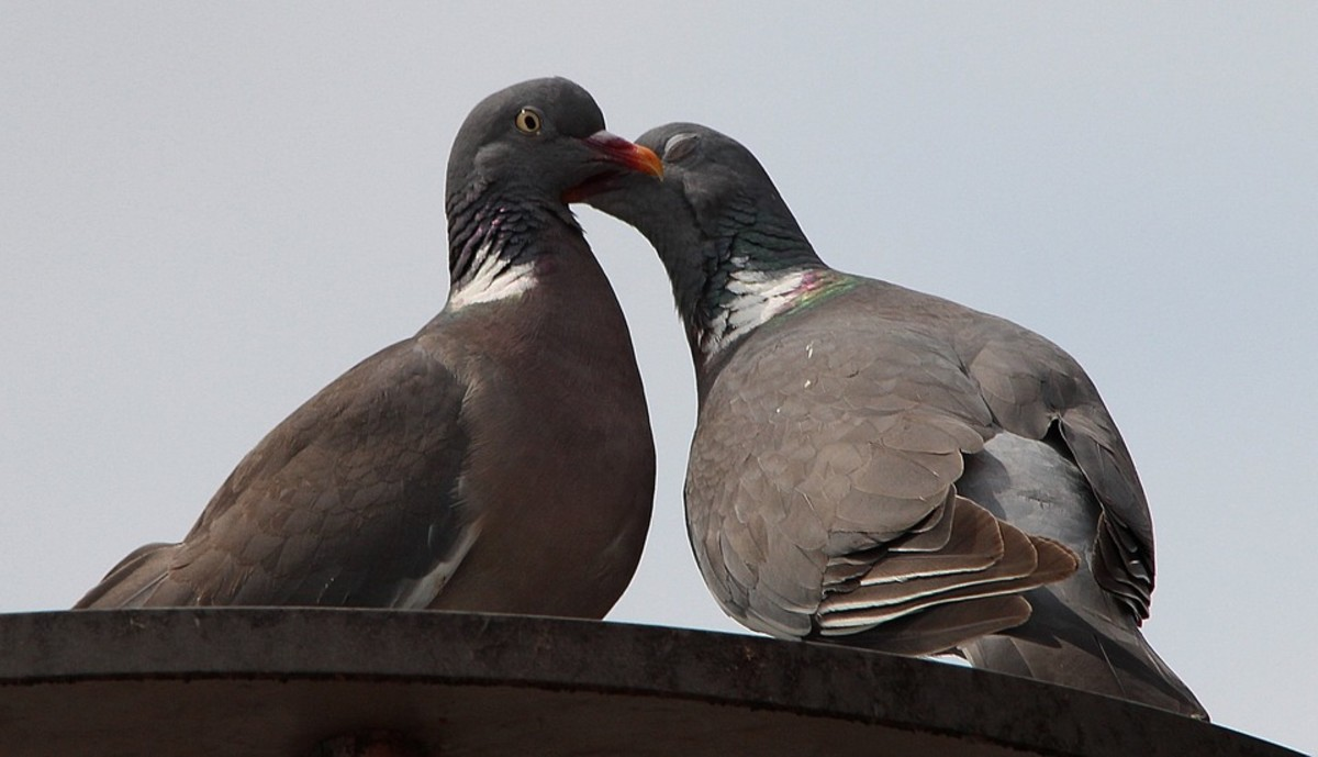 Pigeons are relatively intelligent birds that flock together for meeting survival needs.