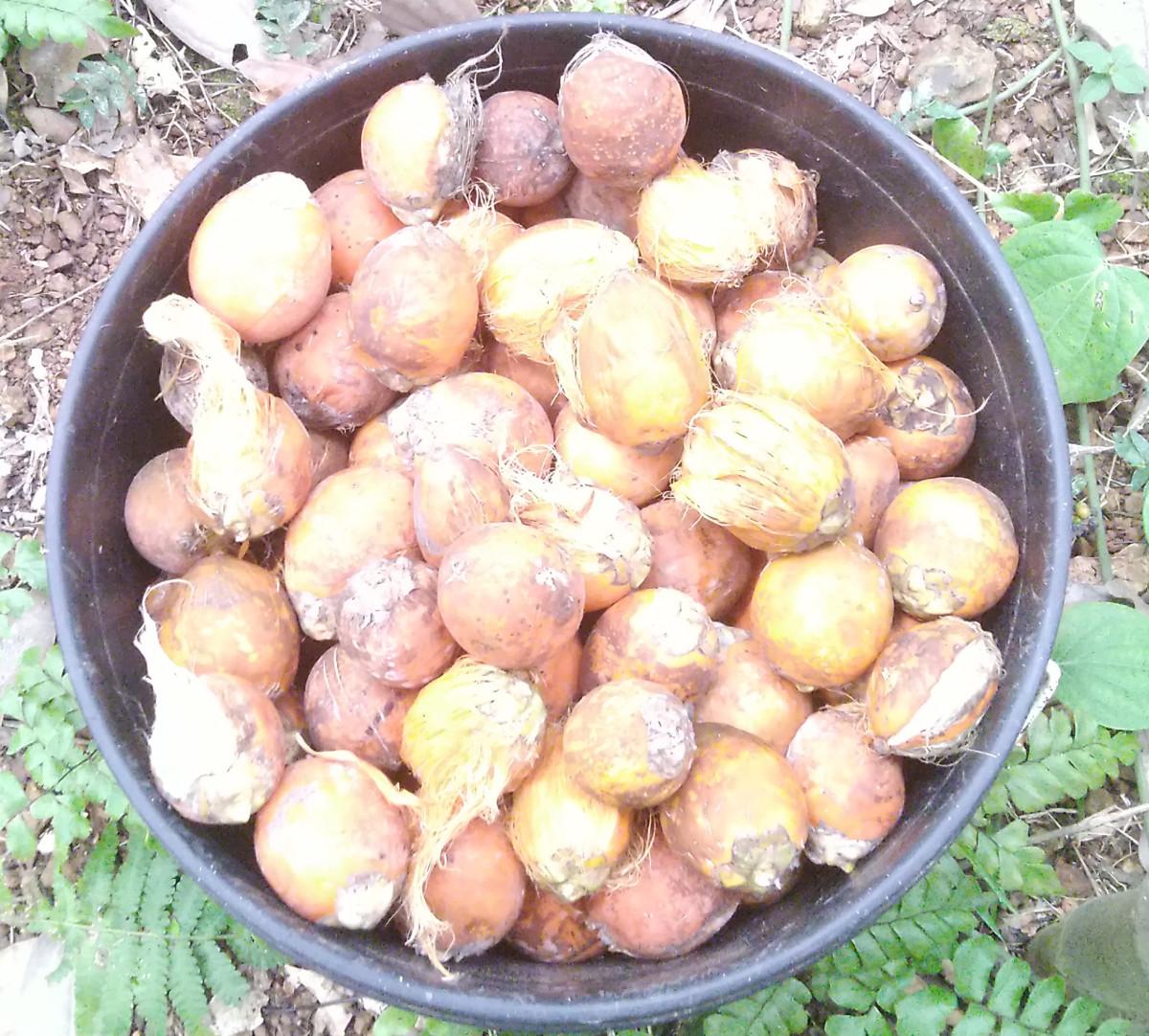 Ripe arecanuts hand-picked from the plantation