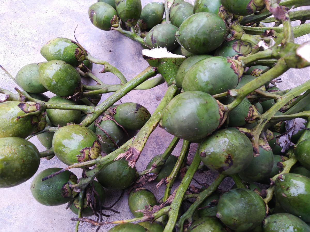 Tender arecanut suitable for making Bing-long or Scented Supari
