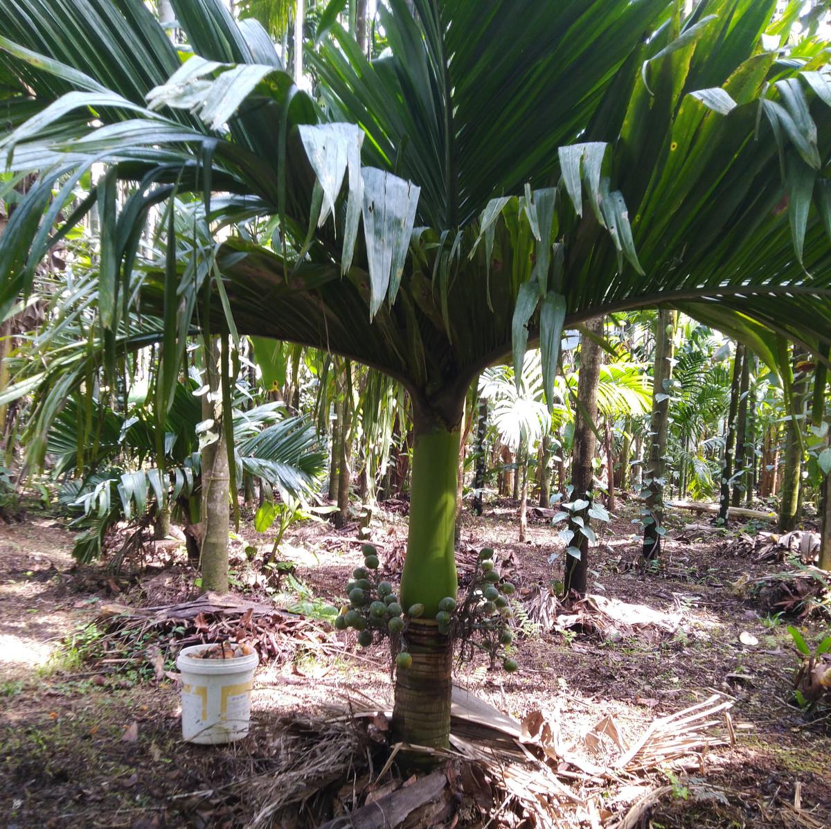 Dwarf arecanut palm