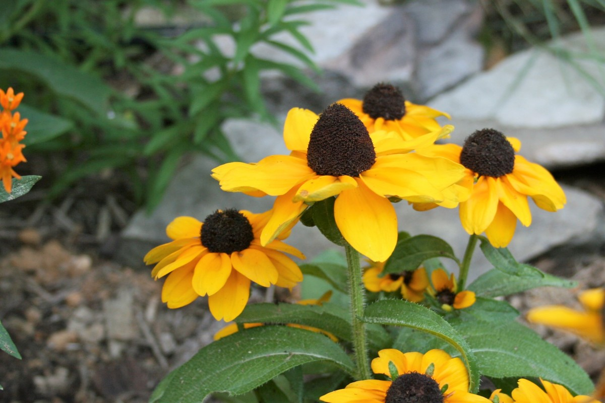 Rudbeckia hirta (black-eyed Susan) is one of the herbaceous perennials in our waystation garden.