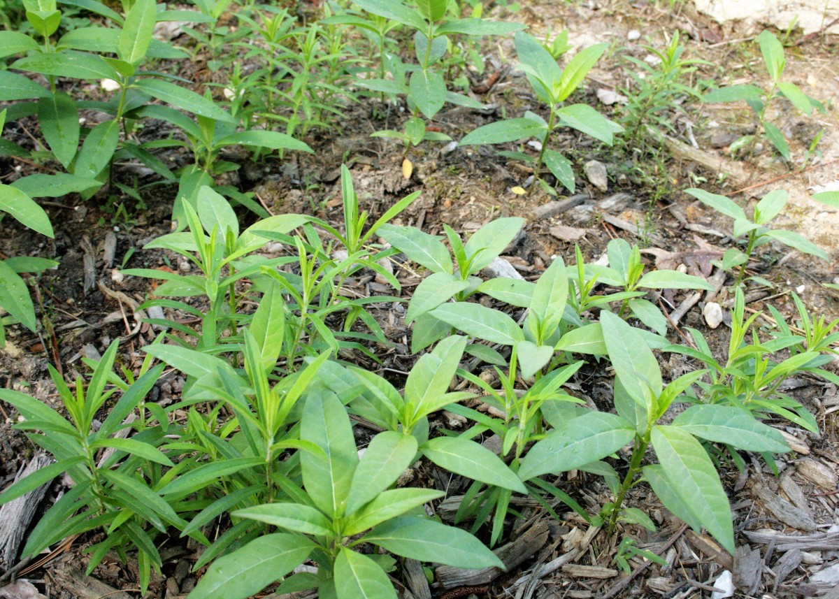 Thin the milkweed seedlings a little and then mulch around them to discourage weeds.