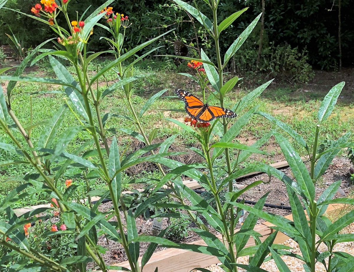 Our Monarch waystation is a work in progress.