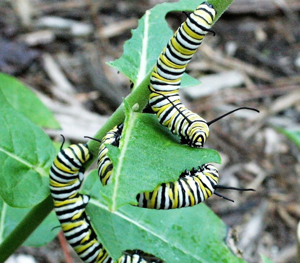 Monarch caterpillars feed on milkweed.