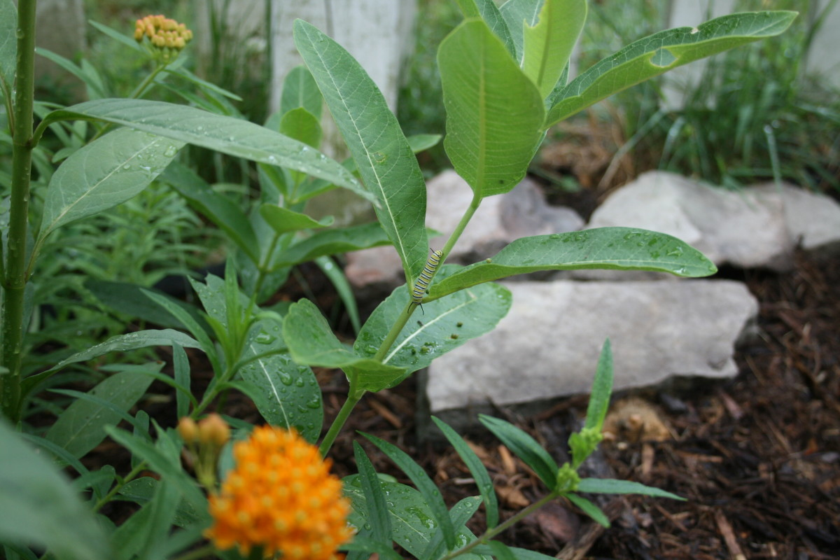 Common milkweed, butterfly weed, and Mexican butterfly weed are among the plants that grow in our waystation garden.
