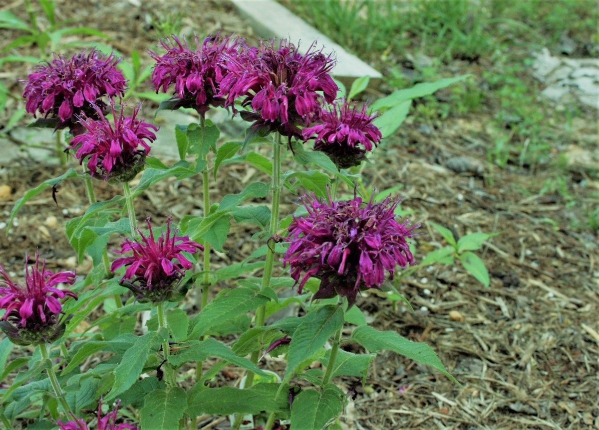 Bee balm is another good herbaceous perennial nectar plant for butterfly gardens. Ours began blooming at the end of May.