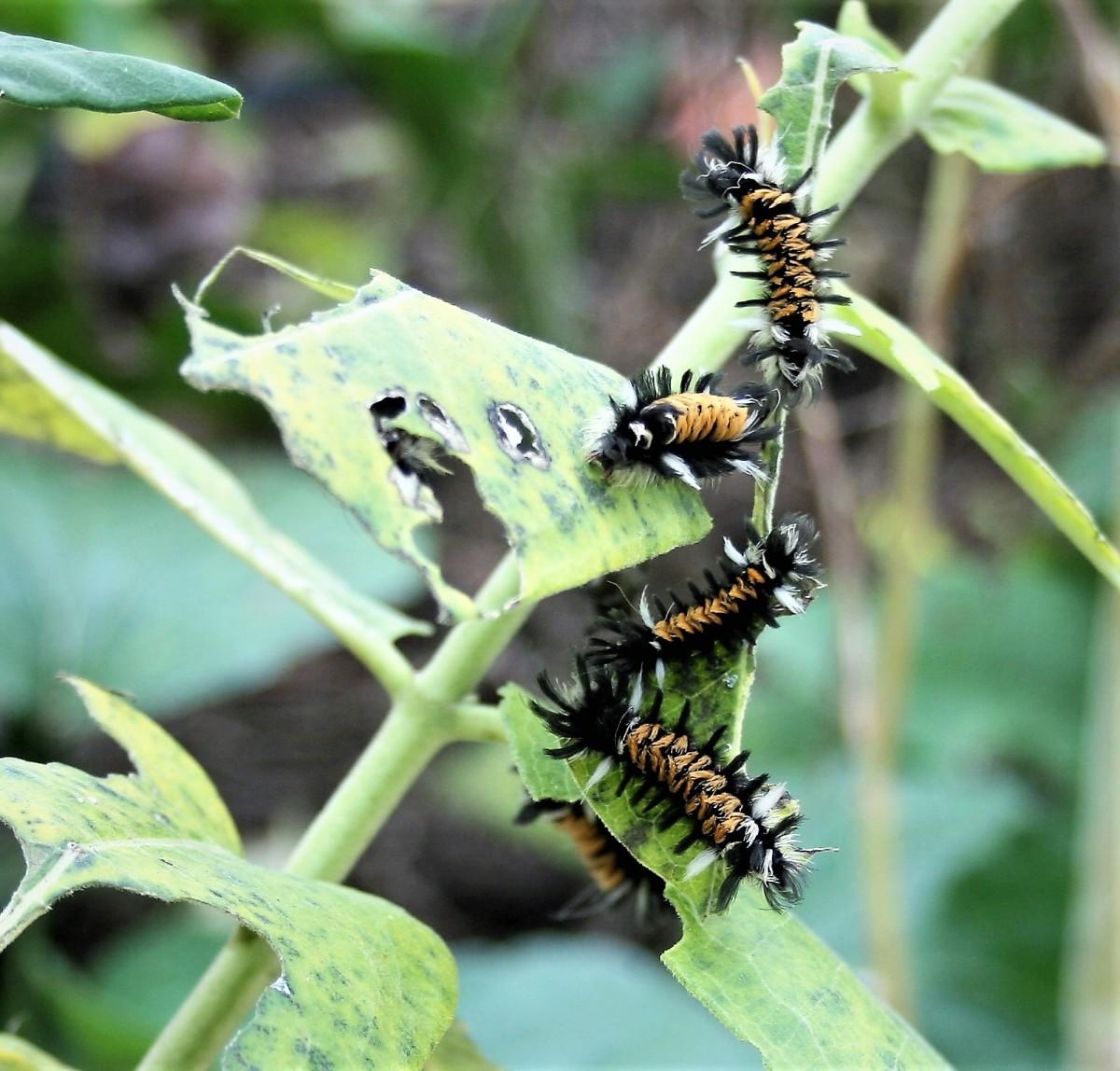 Milkweed is the host plant for the Milkweed Tussock Moth.