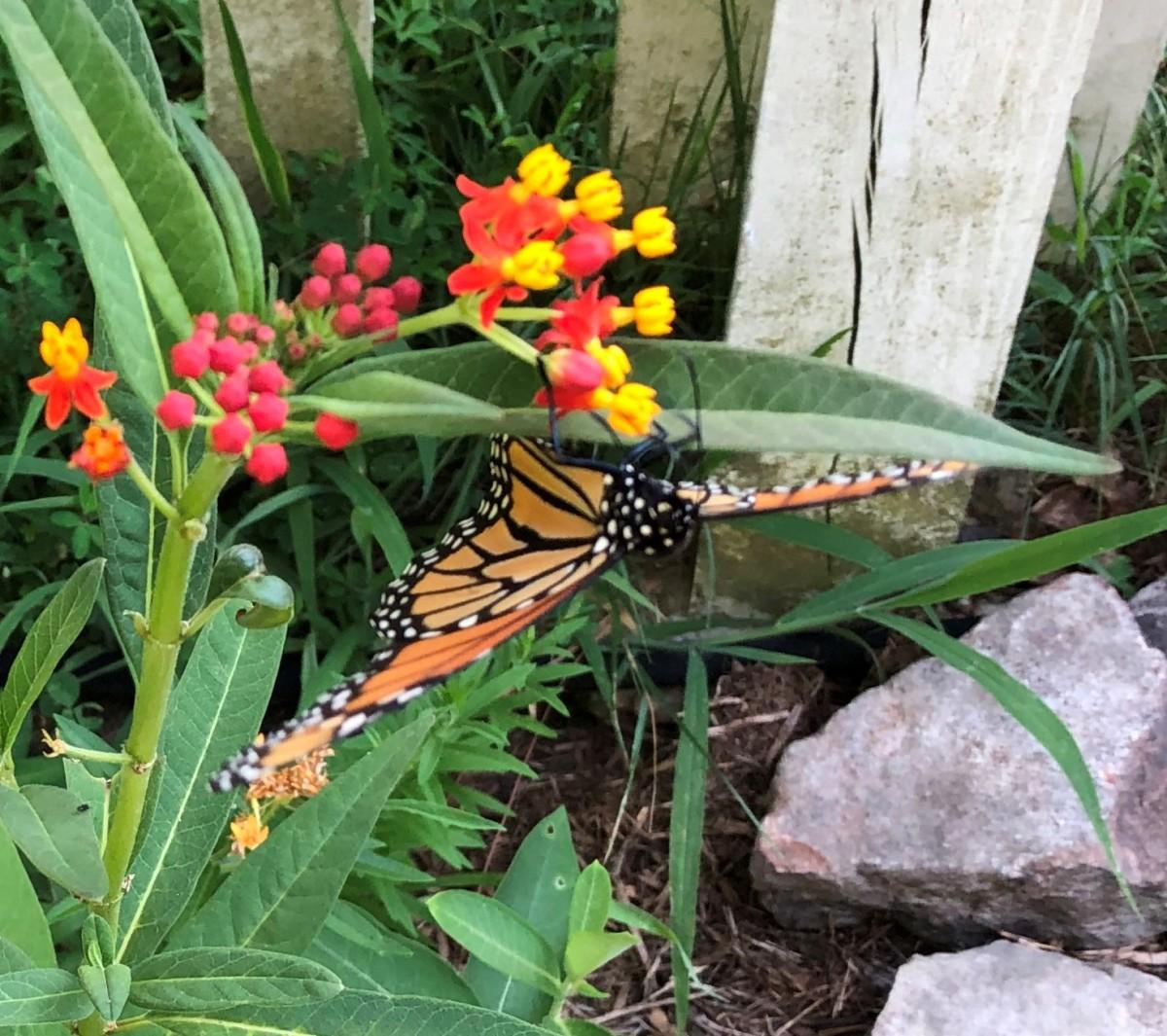 Monarch females usually deposit  eggs on the undersides of milkweed leaves.