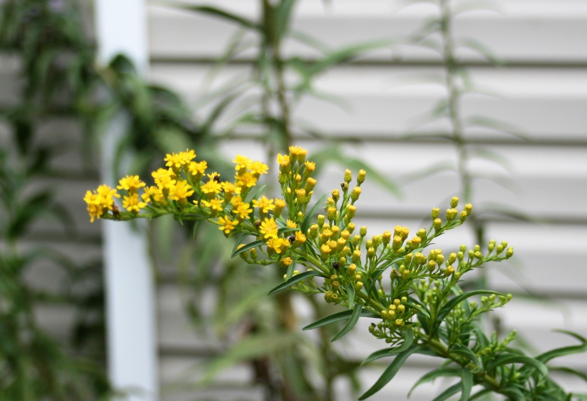 Goldenrod is another good nectar plant.