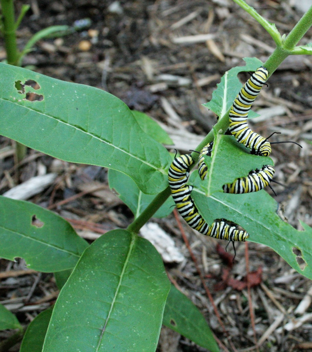 The caterpillars stripped our common milkweed plants of leaves several times. Tropical milkweed was their second favorite, followed by whorled.