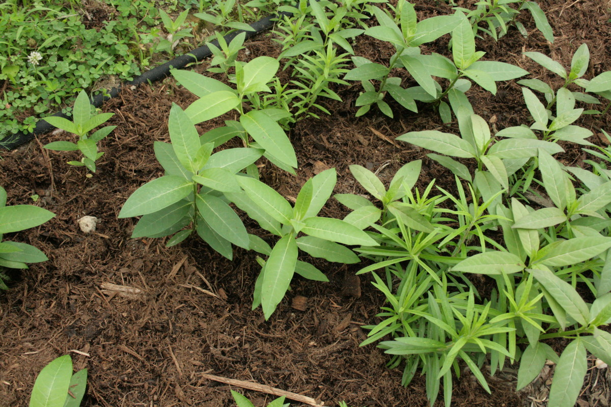 I started the common, orange, and tropical milkweed in our waystation by direct sowing, that is, sowing the seeds directly into a prepared bed.