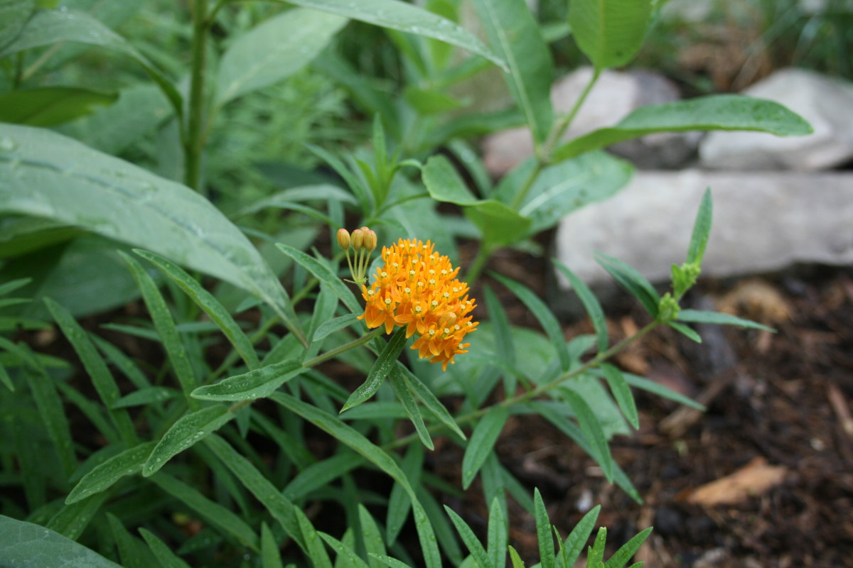 Growing several types of milkweed in your Monarch waystation is a good idea. Pictured: Butterfly weed in bloom, common milkweed and Mexican milkweed.