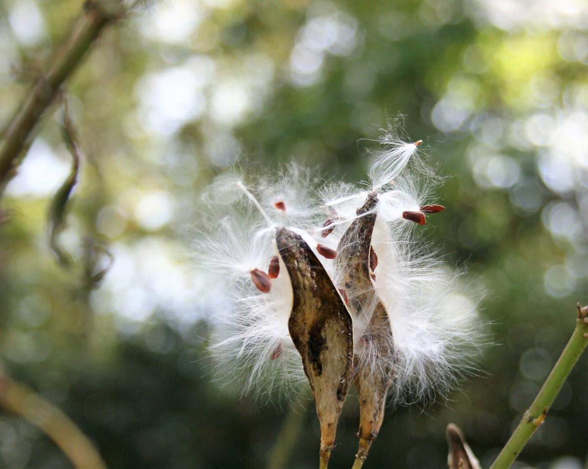 Before chilling milkweed seed, remove the floss.