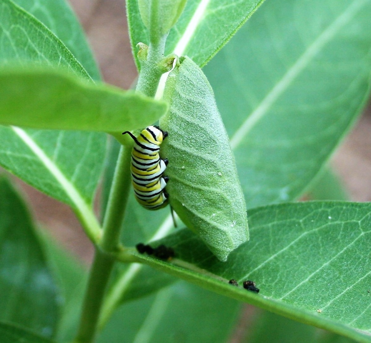 Milkweeds are host plants for several types of pollinators, including Monarchs, Queen butterflies and Tussock moths. Pictured: a Monarch caterpillar.