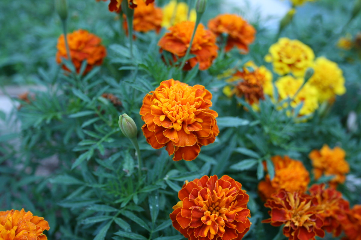 Marigold is one of the few annuals in our waystation.