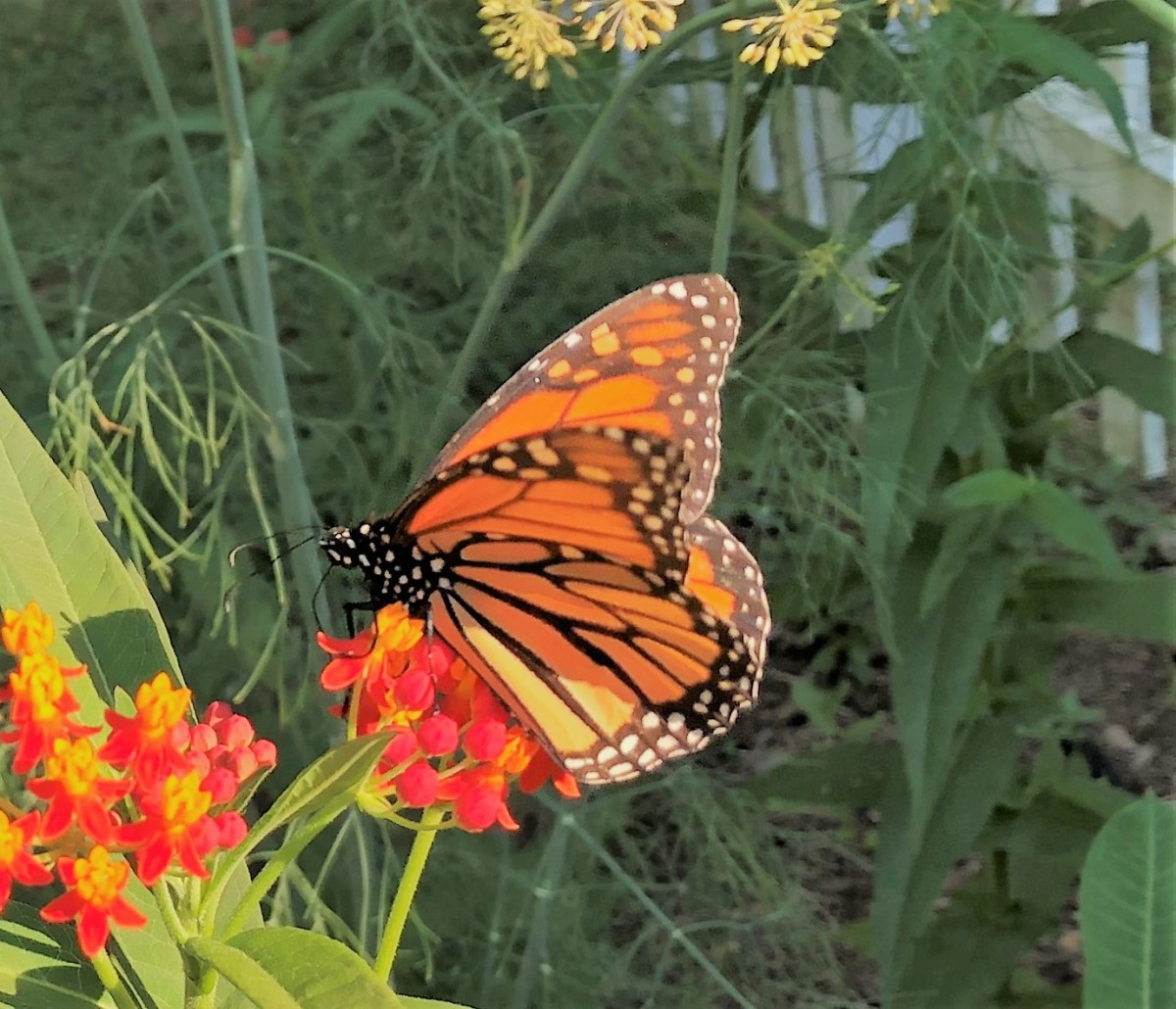 my-monarch-waystation-garden