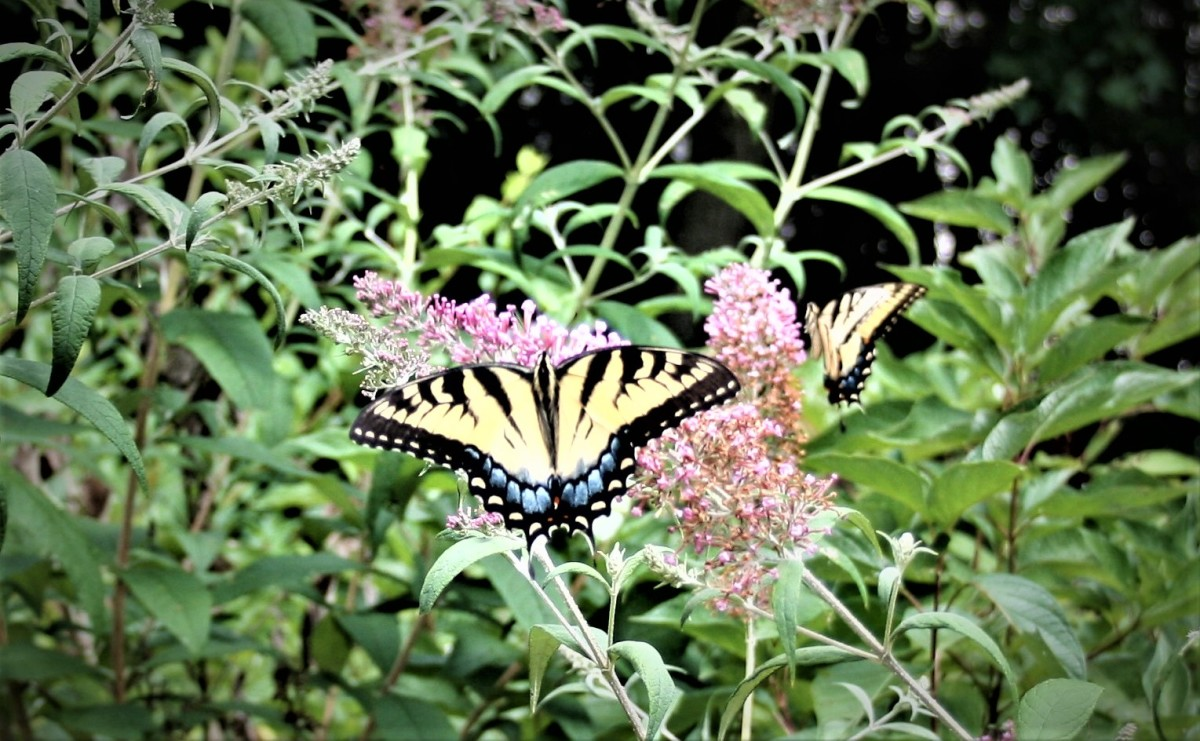 The nectar plants in your Monarch waystation will attract other butterflies, like these Tiger Swallowtails, which are feeding on a butterfly bush (Buddleia davidii).