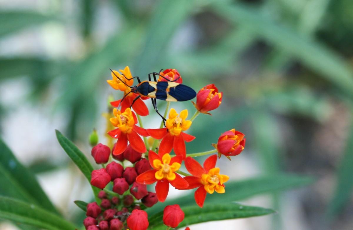A milkweed bug feeds on tropical milkweed.