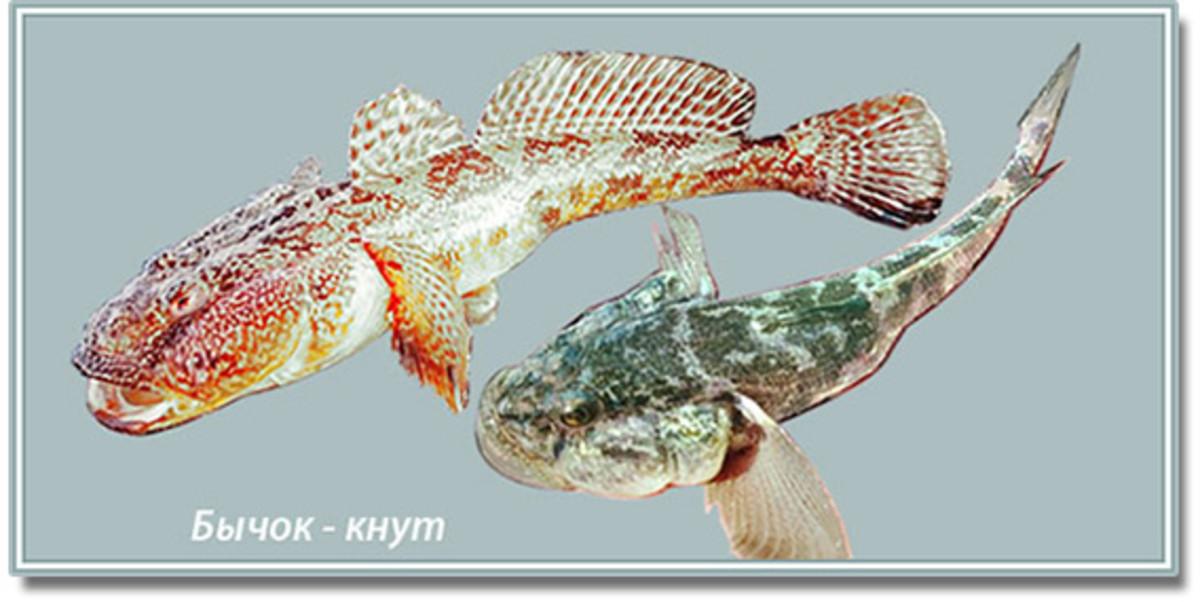 Bychok Knut
