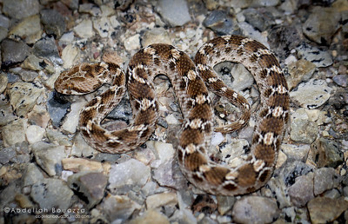 Saw Scaled or Carpet Viper
