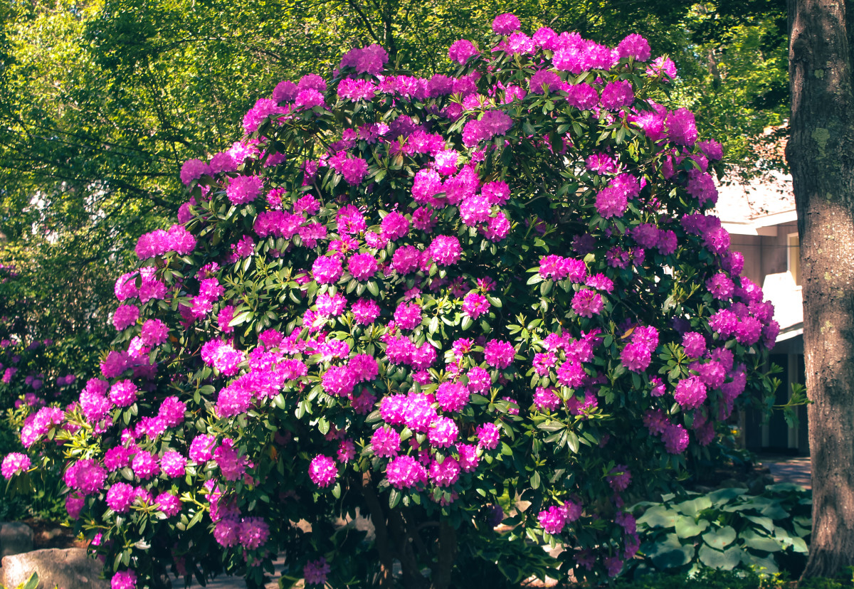 Rhododendron (rare species of flower)