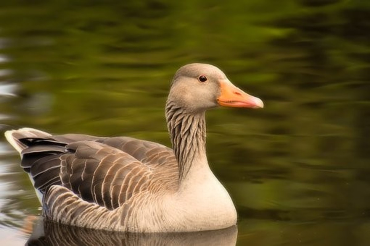 Geese represent faithfulness and spiritual enlightenment. They are known for their loyalty, perhaps through observations that they will stay with an injured companion, rather than abandon it.