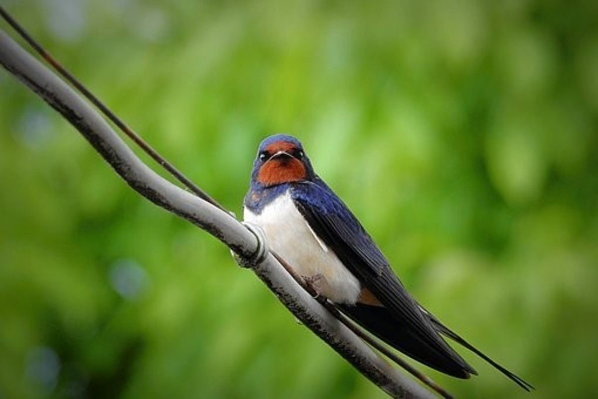 Swallows also represent love, loyalty, and friendship.