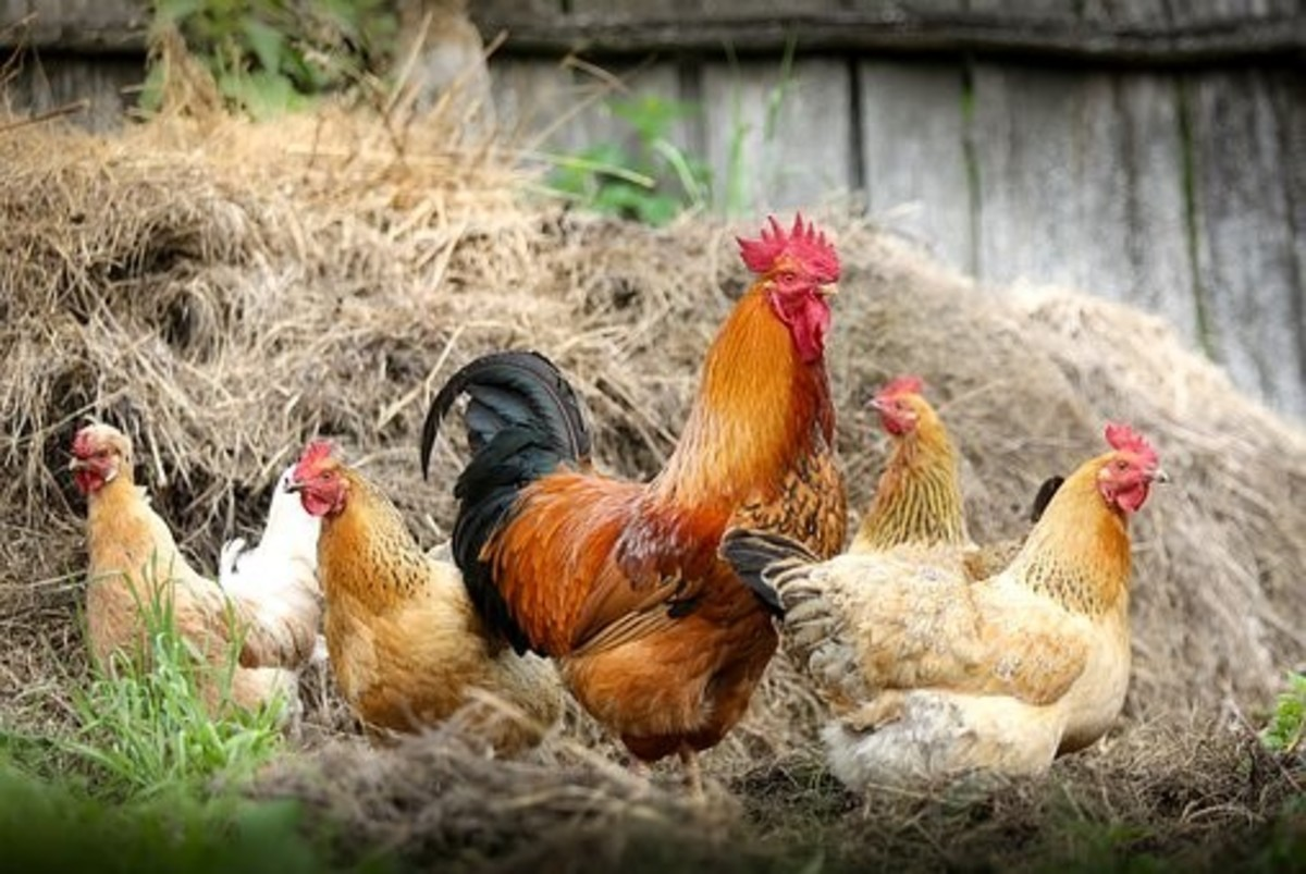 A symbol of parental love, the Chicken, is also symbolic of: Sacrifice, Nurture, and Protection However, the poor Chicken also has a miserable time of it when considering how idioms have come to reflect upon it, often associated with negative traits.