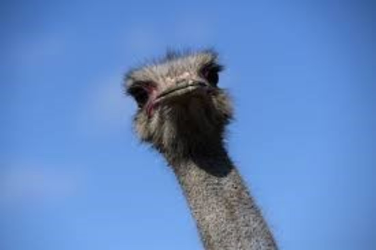 the-great-american-ostrich