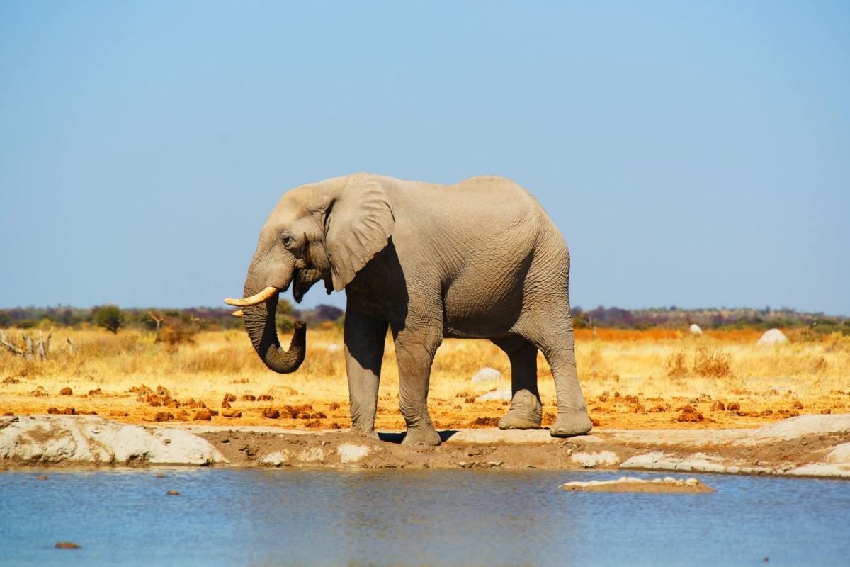 Cyanobacteria Cause Elephant Death in Botswana