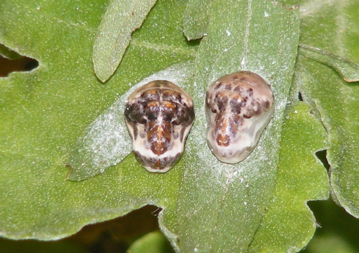 Pupae of the apefly, showing resemblance to the face of a monkey or ape