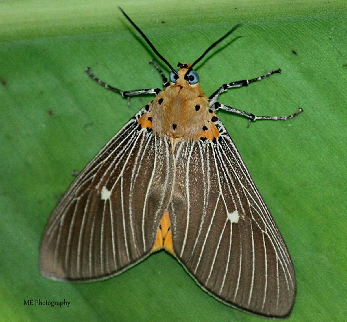 Adult Asota caricae tiger moth