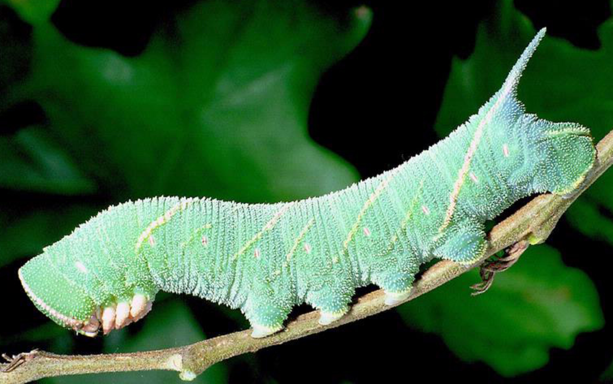 Caterpillar of the marumba hawkmoth