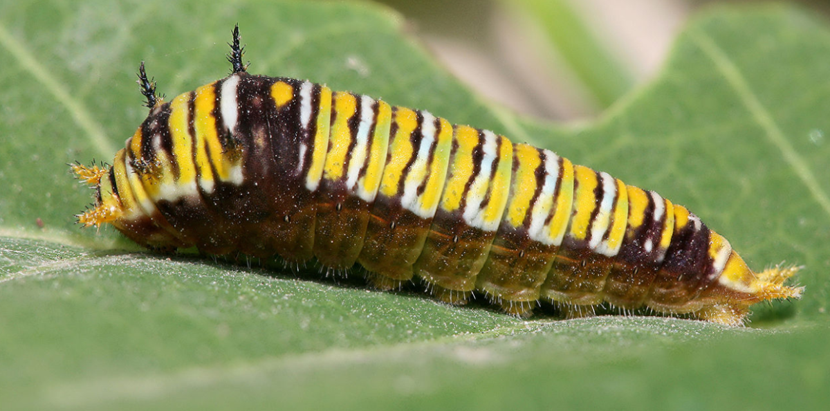 A caterpillar typical of swallowtails in the genus Graphium