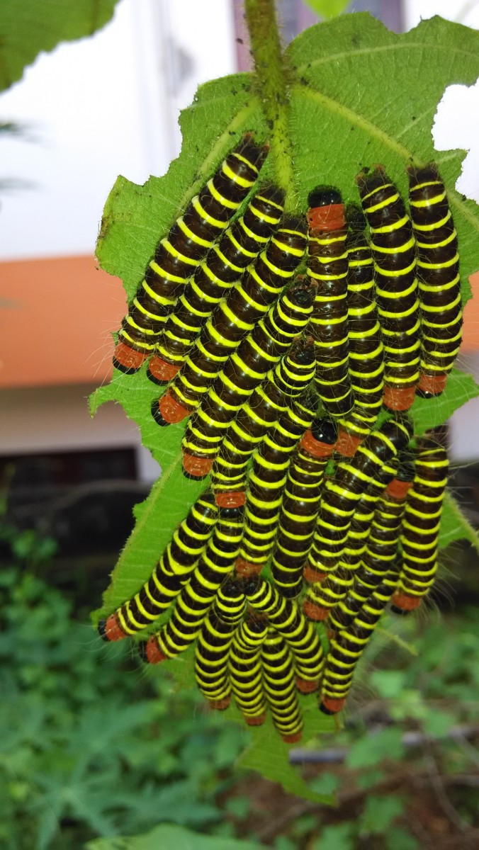 Caterpillars of Asota plana