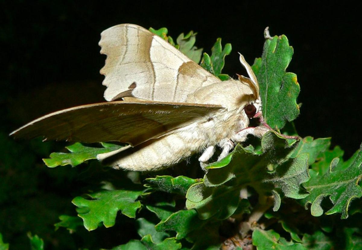 Adult marumba hawkmoth