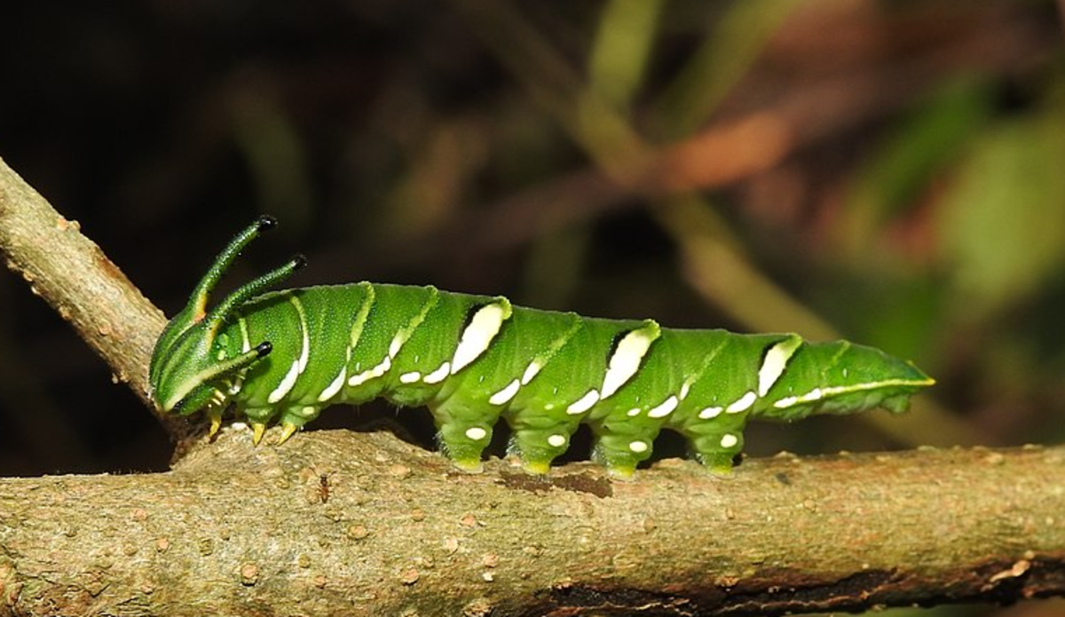 Caterpillar of the common nawab, Polyura athamas