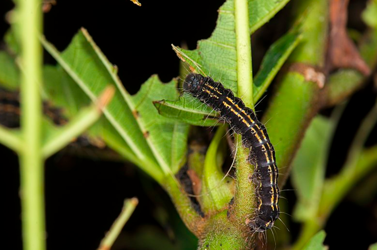 Caterpillar of Asota caricae
