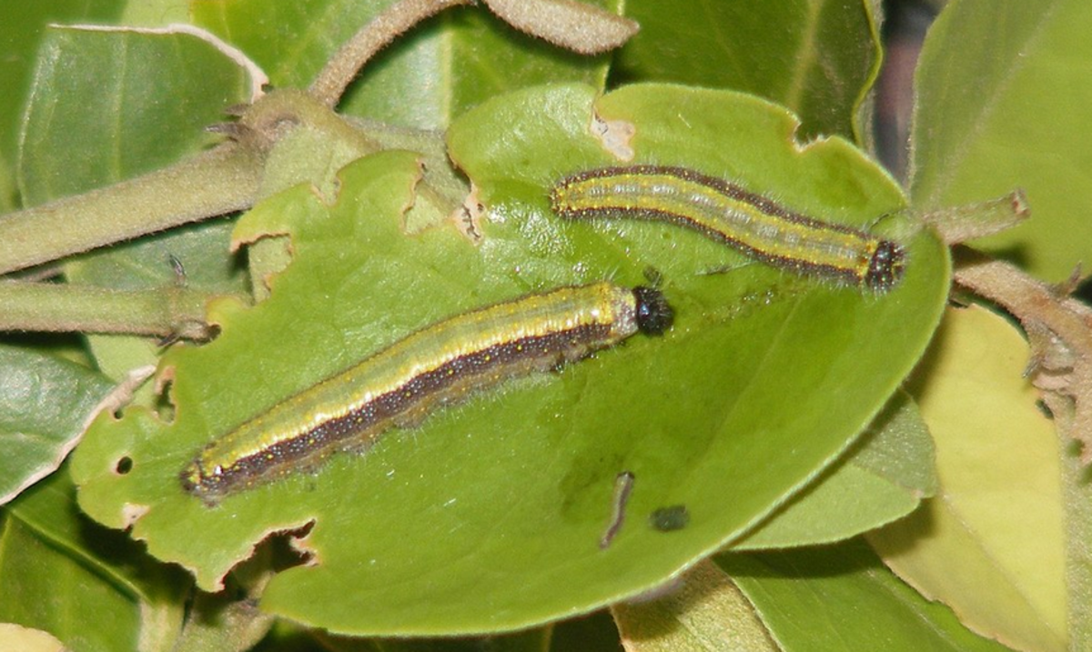 Caterpillar of the pioneer white butterfly