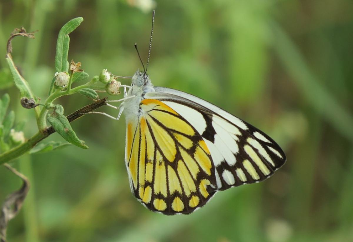 The pioneer white butterfly