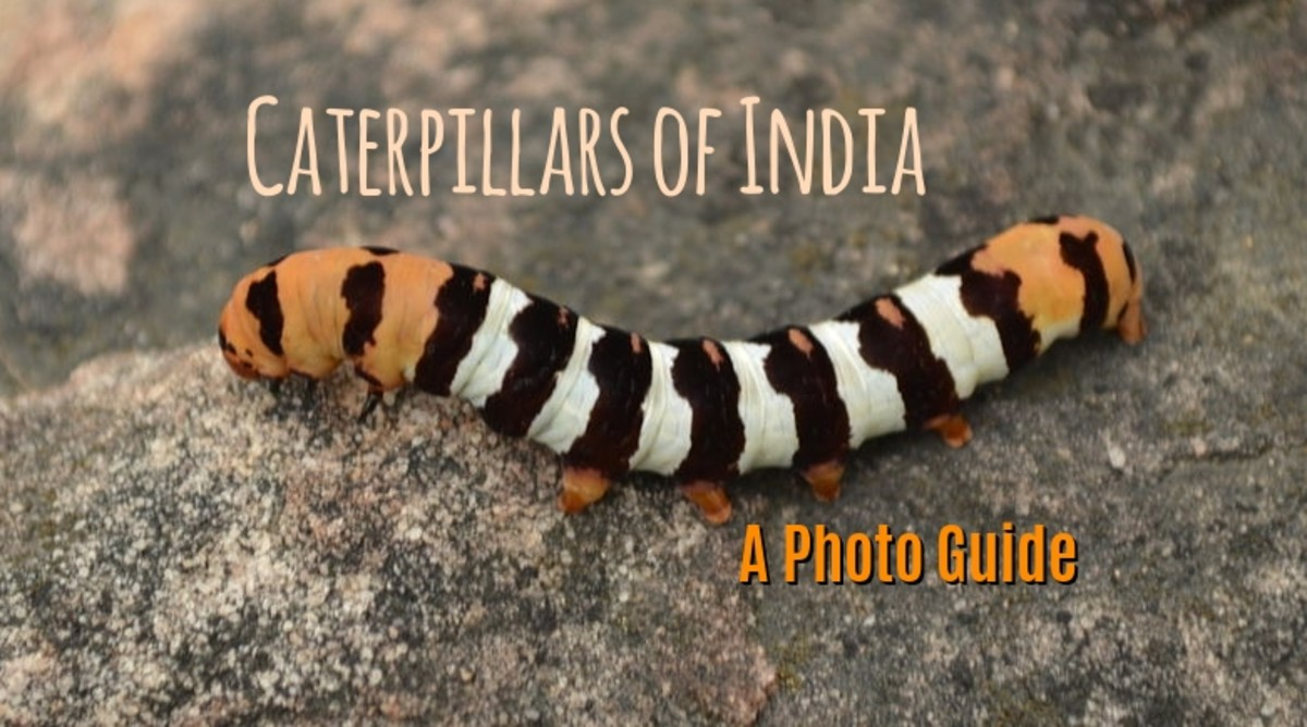 Caterpillars of India: A Photo Guide to Common Species