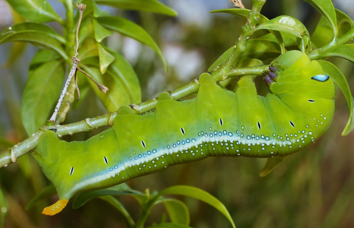 The caterpillar of Daphnis nehrii, the oleander hawk moth