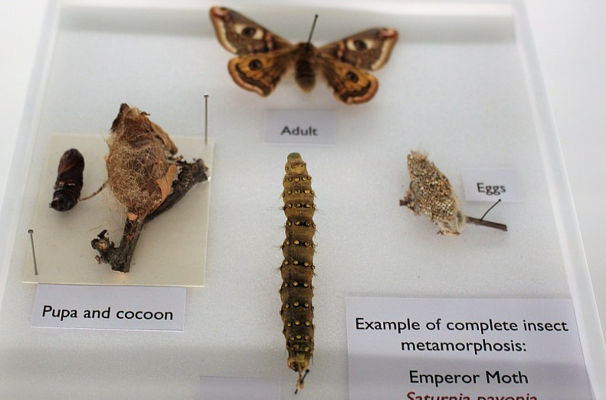 The four stages of complete metamorphosis in the emperor moth