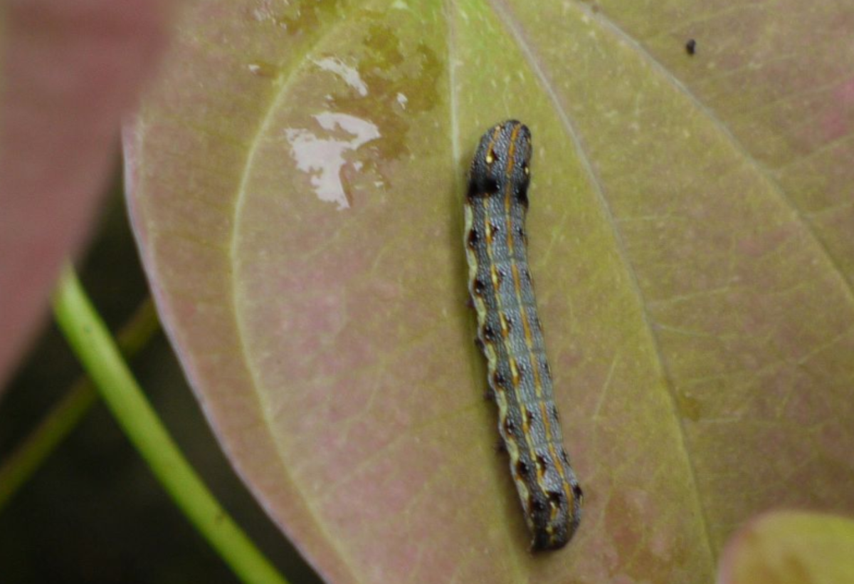 The caterpillar of Spodoptera litura