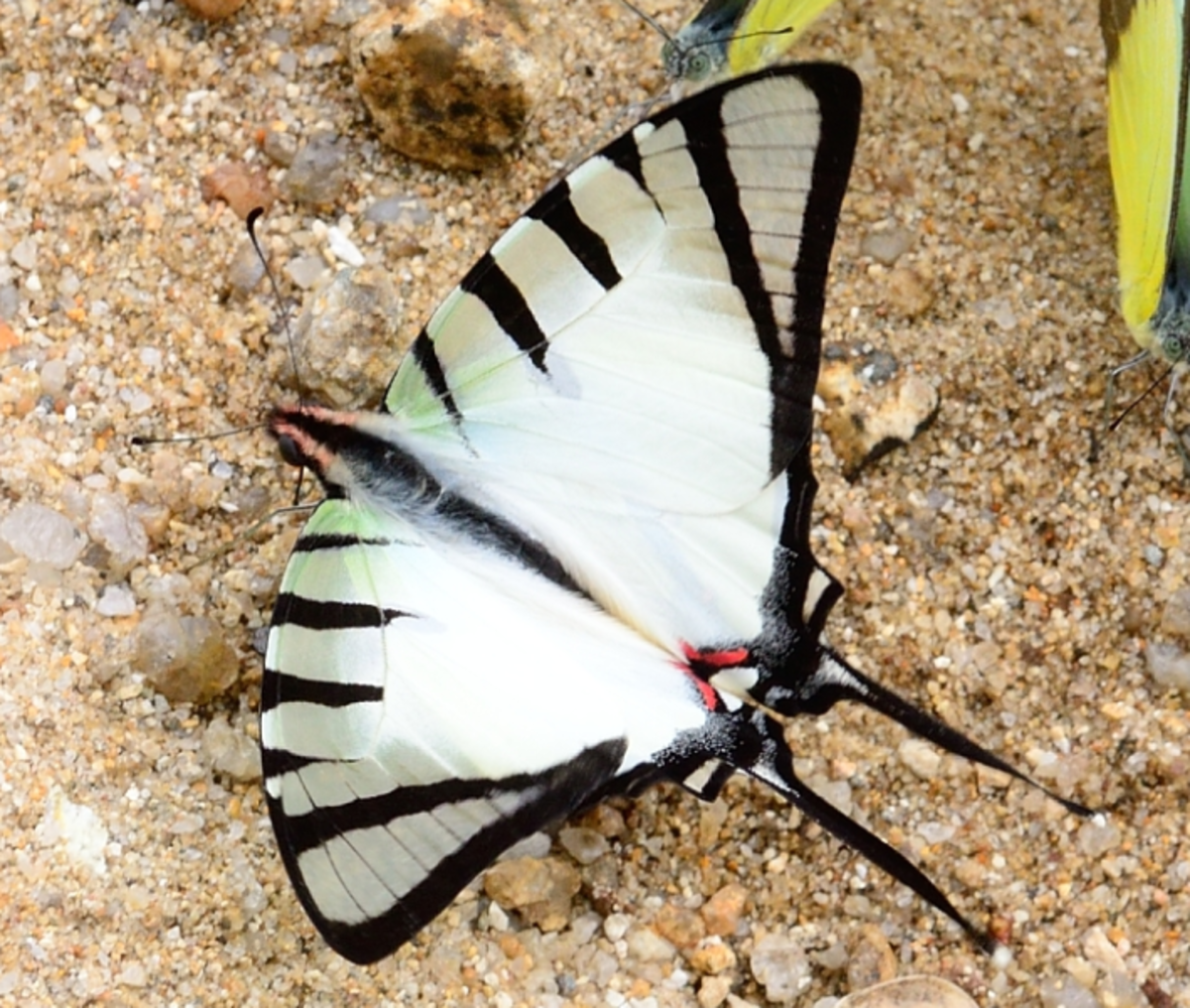 Graphium agetes adult butterfly