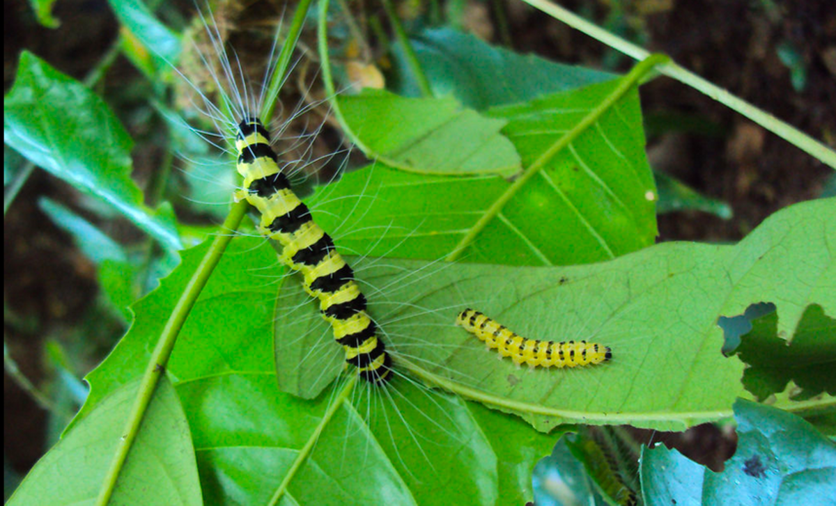 The caterpillar of the Eligma narcissus moth