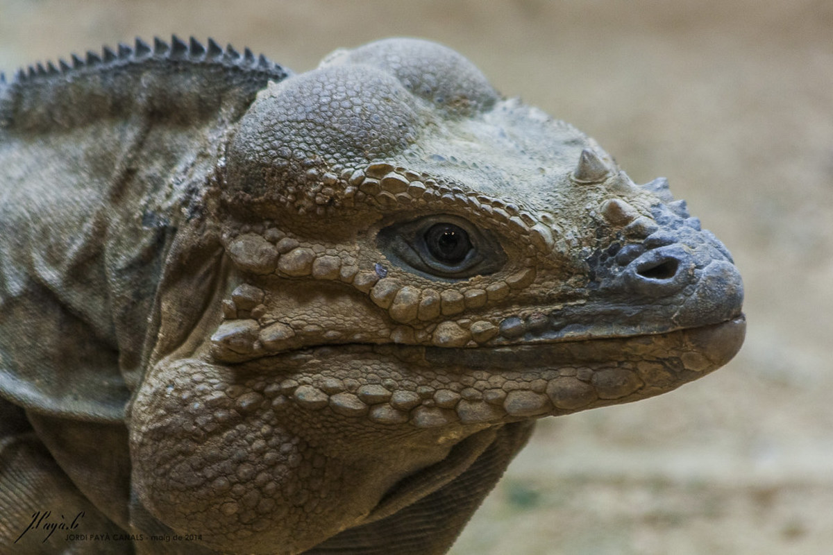Vegetarian Pet Lizards That Don't Need Insects or Meat