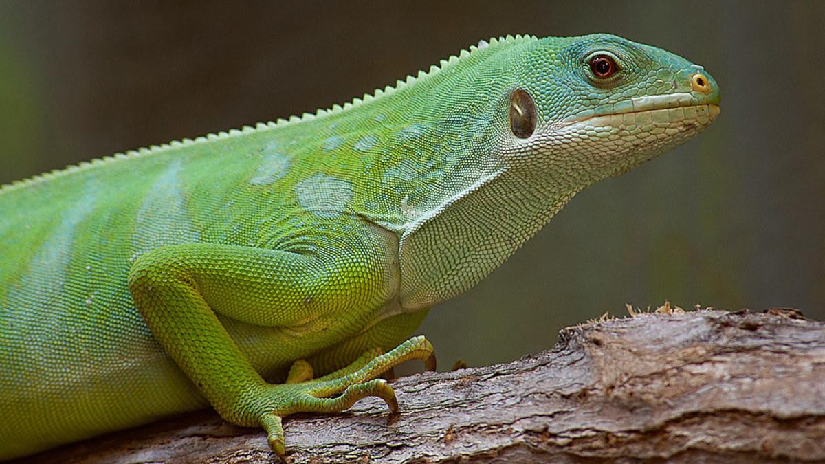 vegetarian-pet-lizards