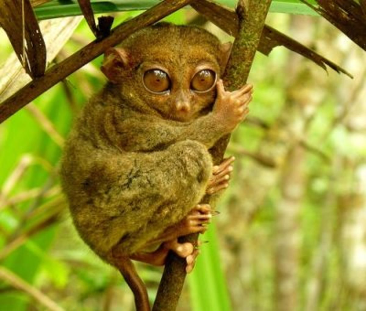Tarsiers live in rainforests of the Philippines.
