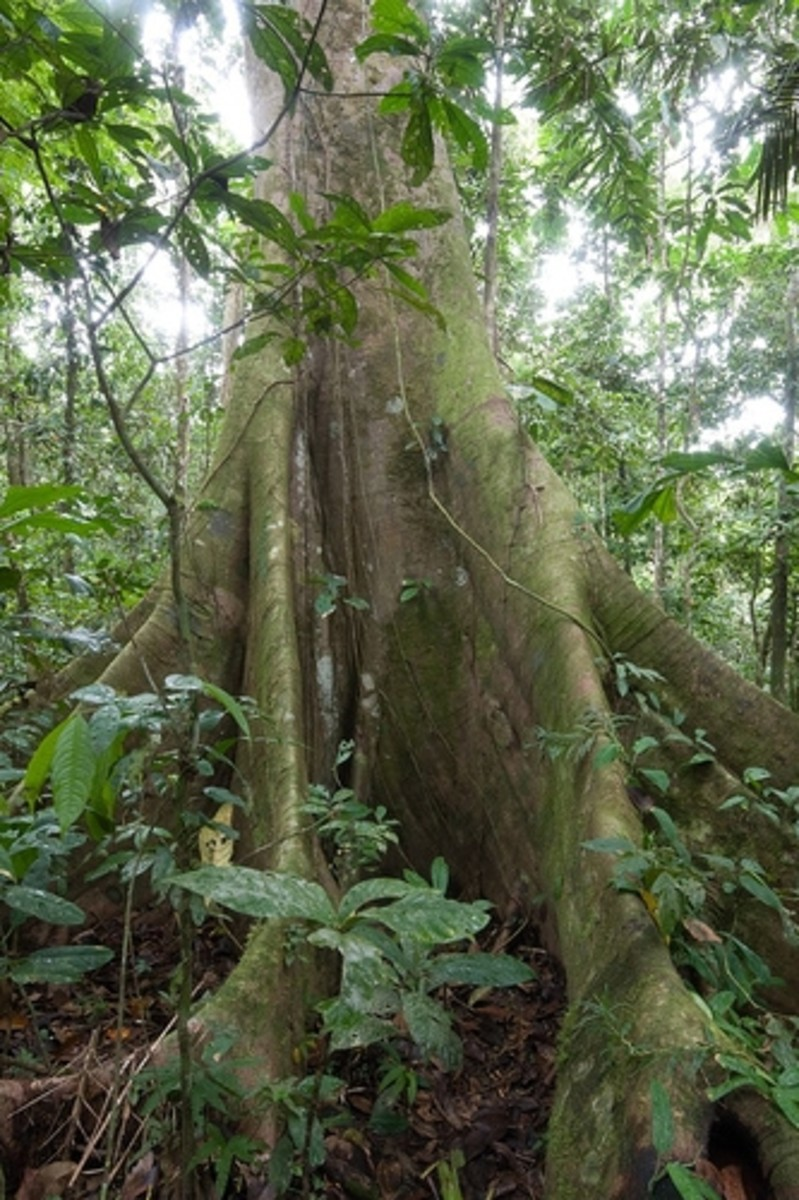 The kapok tree grows in the rainforest.